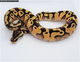 Pastel Enchi Yellowbelly Pos Het Orange Ghost Female
