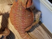 Red Hypo Male Bearded Dragon