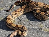 SD tiger Reticulated python