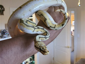Selling my two ball pythons. Humblebee and Banana Mojave.