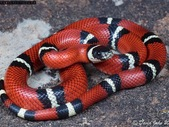 Sinaloan Milk Snake Wanted