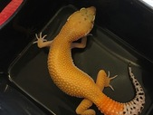 Female Tangerine Super Hypo red stripe het tremper het eclipse