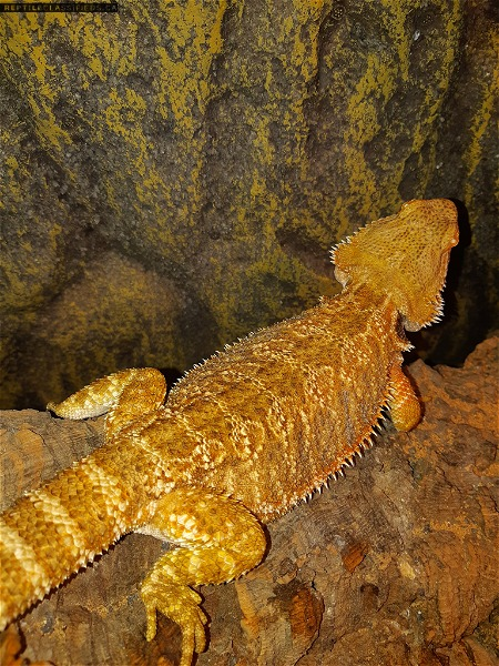 Two female beardies for sale