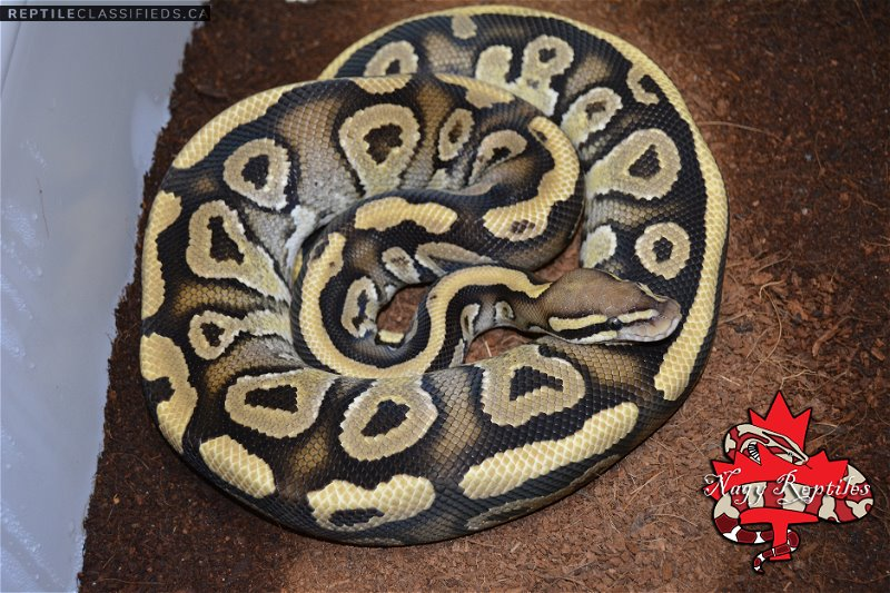 Vanilla Phantom het Citrus Hypo - Reptile Classifieds Canada