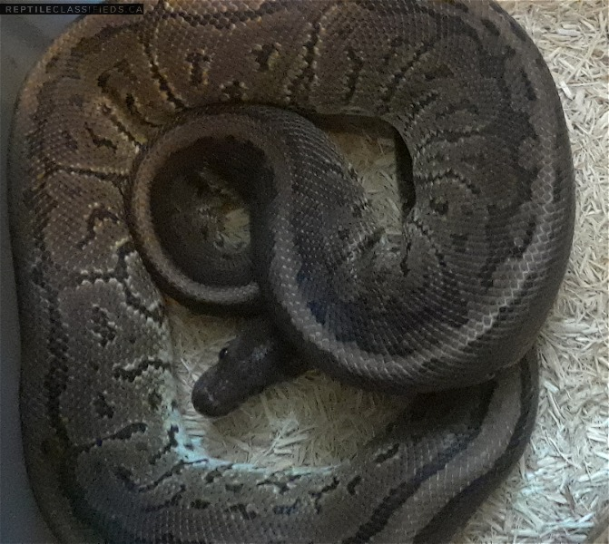 Vare rare morph and high value with stunning colors and patterns