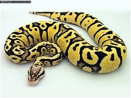 WANTED: 0.1 Firefly het pied ball python