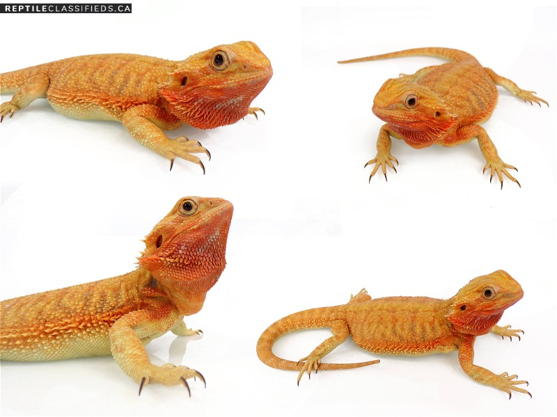 WHOLESALE DRAGONS - Reptile Classifieds Canada