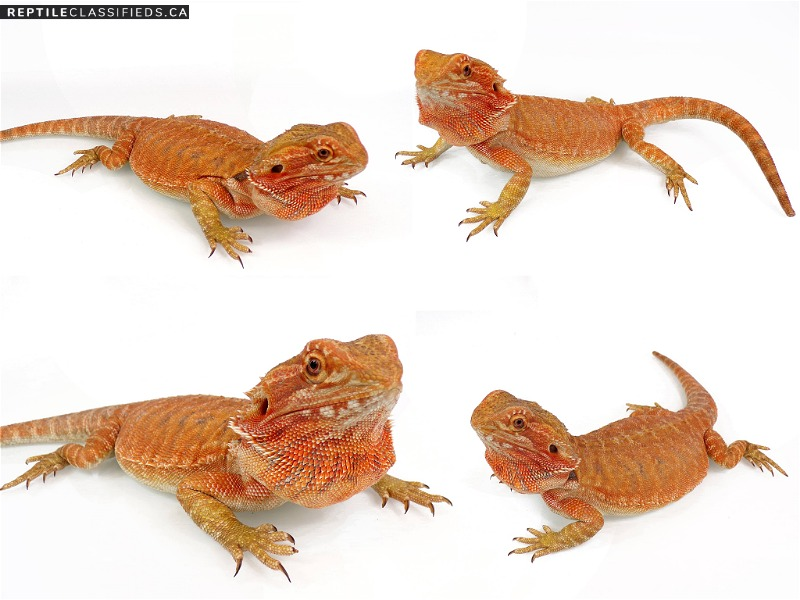 WHOLESALE DRAGONS